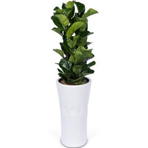 떡갈고무나무 3호 (1m내외)
