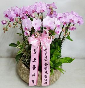 호접란 (핑크 1호)