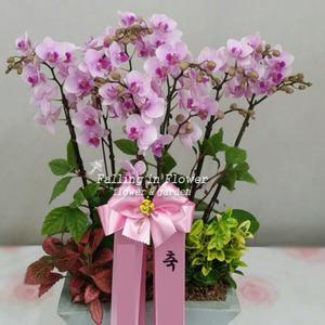연핑크 호접란 4호 (웨딩)