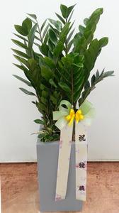 금전수(돈나무) 2호 (70cm내외)