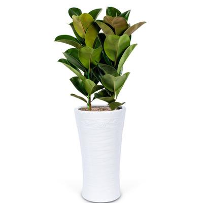 고무나무 1호 (1m내외)