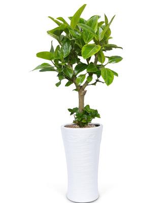 뱅갈고무나무 5호 (150cm내외)