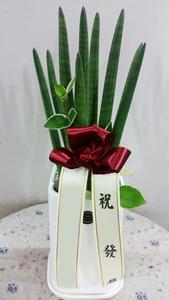 ★인기★ 스투키 1호 (50cm내외)